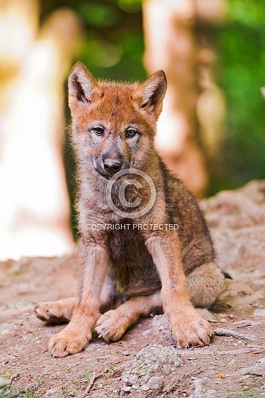 Wolf Cub