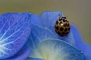 Common Spotted Ladybird on hydrangea