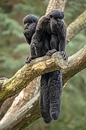 Black bearded saki (chiropotes Satanas)