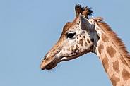 Kordofan Giraffe Side Profile