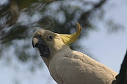 Sulphur Crested Cockatoo squarking