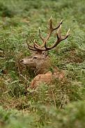 Red Deer in the bracken