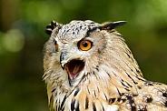 Owl with open beak