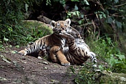 Playing tiger cubs