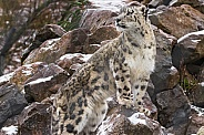 Snow Leopard Looking Over Shoulder On Snowy Rocks