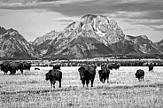 Bison Herd in Grand Teton National Park
