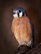 American Kestrel Male