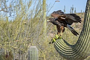Harris's Hawk and Saguaro