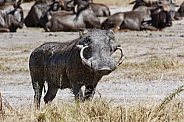 Warthog with large tusks - Botswana