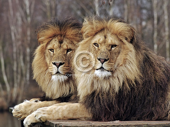 African Lions Brothers