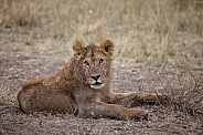 Young Lion (wild)