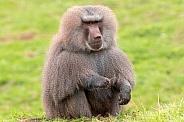 Hamadryas Baboon Sitting Full Body