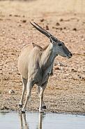 Eland Bull
