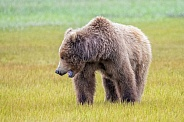 Alaska Peninsula Brown Bear or Coastal Brown Bear in the Rain