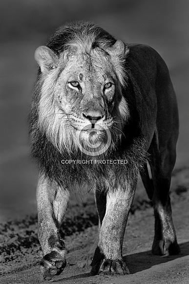 Male lion walking