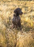 Canis lupus familiaris, domestic dog, bird dog
