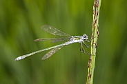 Spread-winged damselfly (Lestidae)
