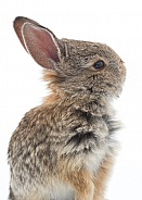 Baby Cottontail Rabbit