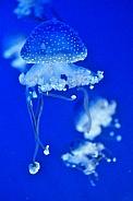 White Spotted Jellyfish (Phyllorhiza punctata)