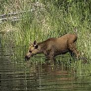 A New Calf Feeding in a Pond in Alaska
