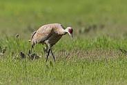 Sandhill Crane Standing, Walking