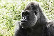 Western Lowland Gorilla Close Up Looking Sideways