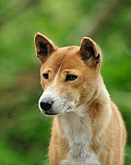 New Guinea Singing Dog Portrait
