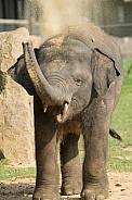 Asian Elephant Dust Bath