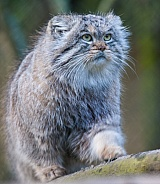 walking pallas cat
