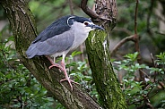 Black Crowned Night Heron  (Nycticorax nycticorax)