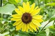 Suntastic Sunflower in full bloom