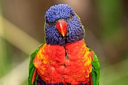 Rainbow Lorikeet Close Up