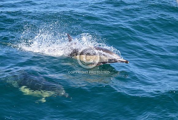 Common Dolphins (wild)