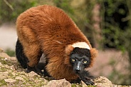 Red Ruffed Lemur Full Body Shot