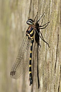 Common Shutwing Dragonfly