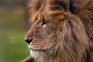 African Lion - close up