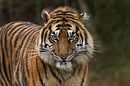 Sumatran Tiger Starting To Snarl
