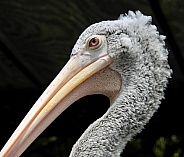 Grey-White Pelican