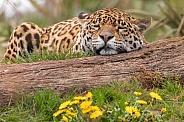 Jaguar Sleeping Head On Log