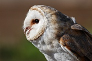 Barn Owl Close Up Side Profile
