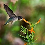 Hummingbird and Mexican Honeysuckle