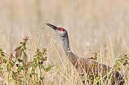 Sandhill Crane Eating Barley