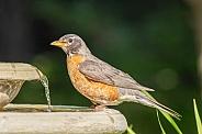 American Robin at the Birdbath