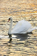 Female Mute Swan (Cygnus olor)