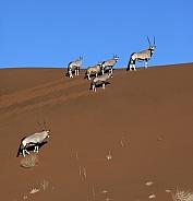 Gemsbok (Oryx) - Namib Desert - Namibia