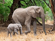 African Elephant Mother and Calf