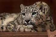 Young Snow Leopard Lying Down Eyes Open
