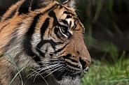 Sumatran Tiger Profile Shot