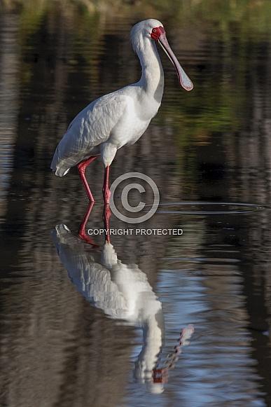 African Spoonbill - Okavango Delta