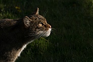 Scottish wildcat hunting